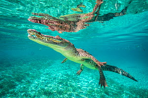 RF - American crocodile (Crocodylus acutus) reflected in the surface as it swims over a shallow seagrass meadow, close to mangroves. Jardines de la Reina, Gardens of the Queen National Park, Cuba. Car... - Alex Mustard