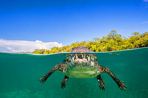 RF - Split level photo of an American crocodile (Crocodylus acutus) floating at the surface over a shallow seagrass meadow, close to mangroves. Gardens of the Queen National Park, Cuba. (This image ma... - Alex Mustard