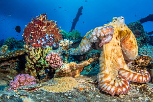 Day octopus (Octopus cyanea) darker male reaching over and mates with a lighter female on the wreck of a barge. Gubal Island, Egypt. Strait of Gubal, Gulf of Suez, Red Sea.  -  Alex Mustard