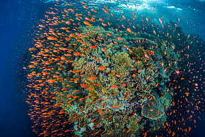 Scalefin anthias (Pseudanthias squamipinnis) shoal in front a coral reef, to feed on zooplankton brought to the reef by the current. Ras Mohammed National Park, Sinai, Egypt. Red Sea.  -  Alex Mustard
