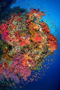 Colourful coral reef with Soft corals (Dendronephthya sp.) and Scalefin anthias (Pseudanthias squamipinnis). Ras Zat'ar, Ras Mohammed National Park, Sinai, Egypt. Red Sea.  -  Alex Mustard