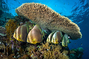 Group  of Circular spadefish (Platax orbicularis) gather at a cleaning station beneath a table coral (Acropora sp.) on a coral reef. Shark Reef, Ras Mohammed, Sinai, Egypt. Red Sea.  -  Alex Mustard