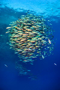 School of Bohar snapper (Lutjanus bohar) in open water close to a coral reef.  Shark Reef, Ras Mohammed, Sinai, Egypt. Red Sea. - Alex Mustard