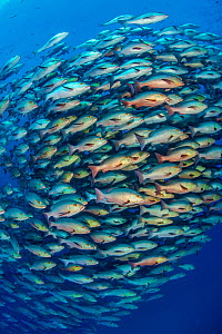 School of Bohar snapper (Lutjanus bohar) in open water close to a coral reef. These fish are usually solitary and aggregate each summer in the Red Sea to spawn. Shark Reef, Ras Mohammed, Sinai, Egypt.... - Alex Mustard