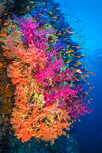 Colourful coral reef wall, with orange Scalefin anthias (Pseudanthias squamipinnis) swarming over pink and orange soft corals (Dendronephthya hemprichi)and( Dendronephthya klunzingeri) in a current. S...  -  Alex Mustard