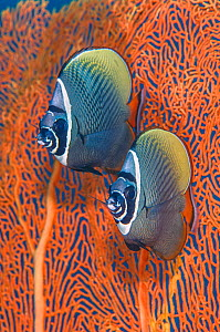 Redtail butterflyfish (Chaetodon collare) pair in front of a smooth Sea fan (Annella mollis). Butterflyfish regularly form stable pairs. Similan Islands, Thailand. Andaman Sea, Indian Ocean.  -  Alex Mustard
