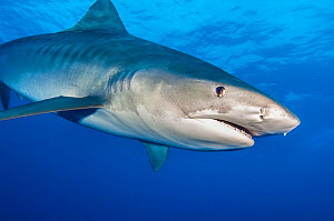 Tiger shark (Galeocerdo cuvier) female in open water, showing its brown eye. Grand Bahama, Northwest Providence Channel, Bahamas. Tropical West Atlantic Ocean.  -  Alex Mustard