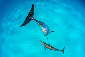 Atlantic spotted dolphin (Stenella frontalis) mother and young swimming over a shallow, sandy seabed. The adults are spotted and the younsters are plain coloured. Great Bahama Bank, North Bimini, Baha...  -  Alex Mustard