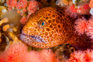 Colourful juvenile Wolf eel ( Anarrhuchthys ocellatus) hides amongst soft corals. Browning Pass, Port Hardy, Vancouver Island, British Columbia, Canada. Queen Charlotte Strait, North East Pacific Ocea...  -  Alex Mustard