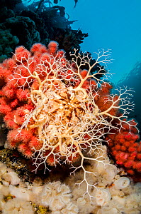 Basket star (Gorgonocephalus eucnemis) climbs up on red soft coral (Eunephthya rubiformis) to feed during daylight. Browning Pass, Port Hardy, Vancouver Island, British Columbia, Canada. Queen Charlot...  -  Alex Mustard