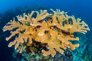View of a colony of Elkhorn coral (Acropora palmata) growing on a coral reef. The growth in this photo represents 11 year's growth since Hurrican Ivan in 2004, which levelled the colony. East End, Gra... - Alex Mustard