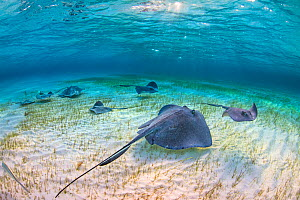 Group of southern stingrays (Dasyatis americana) forage over seagrass in shallow water, accompanied by bar jacks (Caranx ruber). The Sandbar, Grand Cayman, Cayman Islands. British West Indies. Caribbe... - Alex Mustard