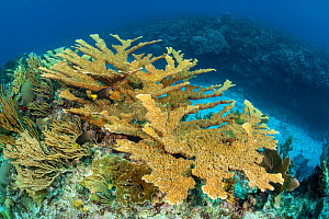 Colony of Elkhorn coral (Acropora palmata) growing on a coral reef and making a home for Yellowtailed damselfish (Microspathodon chrysurus). The growth in this photo represents 12 year's growth since... - Alex Mustard