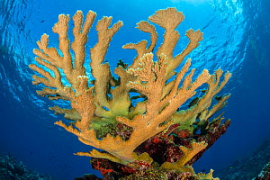 View of a colony of Elkhorn coral (Acropora palmata) growing on a coral reef. The growth in this photo represents 12 year's growth since Hurrican Ivan in 2004, which levelled the colony.  East End, Gr... - Alex Mustard