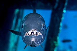 Great barracuda (Sphyraena barracuda) inside the bridge of the wreck of the USS Kittiwake. Seven Mile Beach, Grand Cayman,  Cayman Islands, British West Indies. Caribbean Sea.  -  Alex Mustard