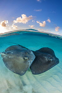 Two large female Southern stingrays (Dasyatis americana) swim over sand in shallow water, split level photo with blue sky and clouds. The Sandbar, Grand Cayman, Cayman Islands. British West Indies. Ca... - Alex Mustard