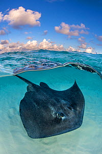 Southern stingray (Dasyatis americana) swimming over sand in shallow water, split level photo with blue sky and clouds. The Sandbar, Grand Cayman, Cayman Islands. British West Indies. Caribbean Sea. - Alex Mustard