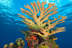 Colony of Elkhorn coral (Acropora palmata) growing on a coral reef. The growth in this photo represents 12 year's growth since Hurrican Ivan in 2004, which levelled the colony. East End, Grand Cayman,... - Alex Mustard