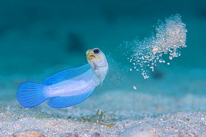 Yellowhead jawfish (Opistognathus aurifrons) spitting out sand as it digs its burrow. East End, Grand Cayman, Cayman Islands, British West Indies. Caribbean Sea.  -  Alex Mustard