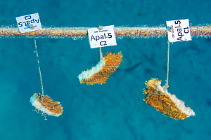 Fragments of elkhorn coral (Acropora palmata) growing, hung on coral propagation tree, as part of a coral conservation nursery project. East End, Grand Cayman. Cayman Islands, British West Indies. Car... - Alex Mustard