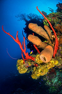 Colourful coral reef wall, with yellow branching tube sponges (Pseudoceratina crassa), brown tube sponges (Agelas conifera) and red rope sponges (Amphimedon compressa), in front of deepwater sea fans... - Alex Mustard