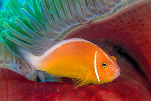 Portrait of a Pink anemonefish (Amphiprion perideraion) in a red skirted magnificent sea anemone (Heteractis magnifica). Ra Province, Viti Levu, Fiji, Polynesia.  Tropical South Pacific Ocean.  -  Alex Mustard