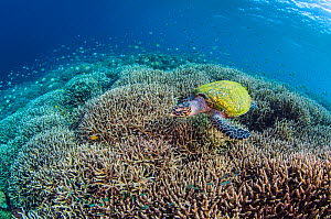 Hawksbill sea turtle (Eretmochelys imbricata) swimming over branching hard coral (Acropora sp.) on a coral reef. Komodo Island, Komodo National Park, Indonesia. Flores Sea. - Alex Mustard
