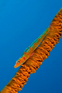 A large whip goby (Bryaninops amplus) on a whip coral against blue water. Sangeang Island, Sumbawa, Indonesia. Flores Sea. - Alex Mustard