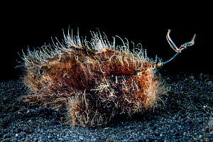 Hairy frogfish (Antennarius striatus) attempts to atrract prey by waving its worm-like lure (esca). Bitung, North Sulawesi, Indonesia. Lembeh Strait, Molucca Sea. - Alex Mustard