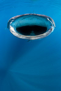 Whale shark (Rhincodon typus) mouth open feeding at the surface,  Isla Mujeres, Yucatan Peninsular, Mexico. Caribbean Sea.  -  Alex Mustard