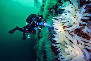 Diver examines a wall covered in large Sea squirts (Ciona intestinalis).  Gulen, Bergen, Norway. North Sea, North East Atlantic Ocean. - Alex Mustard