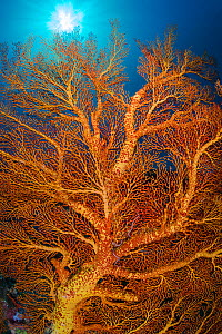 Yellow and orange seafan (Melithaea sp.) growing on a coral reef. Ulong, Rock Islands, Palau, Mirconesia. Tropical west Pacific Ocean - Alex Mustard