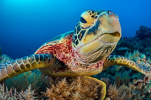 Green turtle (Chelonia mydas) female on a coral reef. Rock Islands, Palau, Micronesia. Tropical west Pacific Ocean. - Alex Mustard