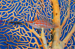 Longnose hawkfish (Oxycirrhites typus) in its home sea fan (Annella mollis) on a coral reef. Small Crack, Sha'ab Mahmud, Sinai, Egypt. Red Sea.  -  Alex Mustard