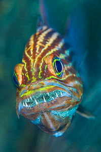 Tiger cardinalfish (Cheilodipterus macrodon) male mouthbrooding eggs in his mouth. Gubal Barge, Gubal Island, Egypt. Strait of Gubal, Gulf of Suez, Red Sea - Alex Mustard