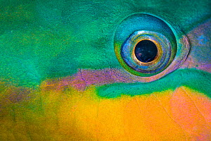 Bullethead parrotfish (Chlorurus sordidus) male, close up of eye, whilst sleeping at night. The Alternatives, Sinai, Egypt. Red Sea - Alex Mustard
