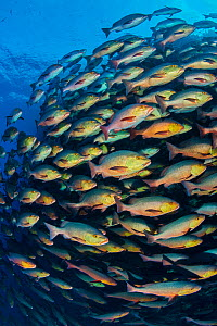 School of Bohar snapper (Lutjanus bohar) swimming in formation along a coral reef. These fish are usually solitary and aggregate each summer in the Red Sea to spawn.  Ras Mohammed National Park, Sinai... - Alex Mustard