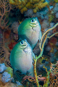Whitebelly damselfish (Amblyglyphidodon leucogaster) pair spawning /  laying eggs on a seafan (Annella mollis). Ras Mohammed National Park, Sinai, Egypt. Red Sea. - Alex Mustard