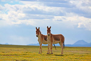 Kiang (Equus kiang) two standing side by side, Sanjiangyuan National Nature Reserve, Qinghai Hoh Xil UNESCO World Heritage Site, Qinghai-Tibet Plateau, Qinghai Province, China. - Dong Lei