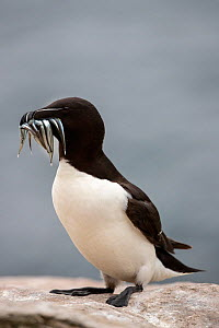 RF - Razorbill (Alca torda) walking with fish in its beak, Saltee Islands,  Ireland, June. (This image may be licensed either as rights managed or royalty free.) - David  Pattyn