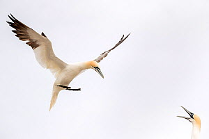 RF - Gannet (Morus bassanus) landing in the colony and greeted by its partner, Great Saltee, Saltee Islands,  ,Ireland. June (This image may be licensed either as rights managed or royalty free.)  -  David  Pattyn