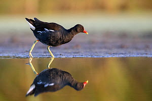 RF - Moorhen (Gallinula chloropus) at the edge of a pond, Valkenhorst Nature Reserve, Valkenswaard, the Netherlands July (This image may be licensed either as rights managed or royalty free.)  -  David  Pattyn