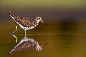 RF - Green sandpiper (Tringa ochropus) adult in breeding plumage, feeding in shallow freshwater pool. Valkenhorst Nature Reserve, Valkenswaard, The Netherlands. July (This image may be licensed either... - David  Pattyn