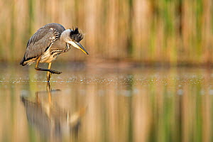 Grey Heron (Ardea cinerea) standing at the edge of a pond while preening its feathers. Valkenhorst nature reserve, Valkenswaard, The Netherlands June  -  David  Pattyn