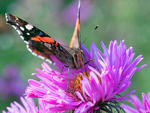 RF - Red admiral butterfly (Vanessa atalanta) on Michaelmas daises (Aster amellus) in autumn, Norfolk, England, UK, September. (This image may be licensed either as rights managed or royalty free.)  -  Ernie  Janes