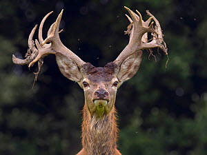 RF - Red deer (Cervus elaphus) stag shedding velvet from antlers in autumn,  Norfolk, England, UK, September. (This image may be licensed either as rights managed or royalty free.) - Ernie  Janes