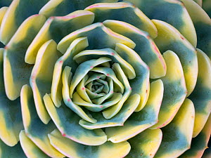 RF - Close up detail of variegation of Aeonium 'Sunburst'. (This image may be licensed either as rights managed or royalty free.) - Ernie  Janes