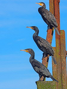RF - Cormorants (Phalacrocorax carbo) group of three resting on the Cromer Beach Groynes, Norfolk, England, UK, September. (This image may be licensed either as rights managed or royalty free.)  -  Ernie  Janes