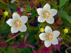 RF - Grass-of-parnassus (Parnassus palustris) flowers. Norfolk, England, UK, August. (This image may be licensed either as rights managed or royalty free.)  -  Ernie  Janes