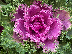 RF - Ornamental Kale 'Nagoya Rose' in garden border. (This image may be licensed either as rights managed or royalty free.)  -  Ernie  Janes